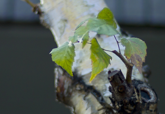 Leafb